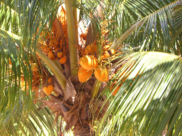 coconut-palm-tree-2.jpg